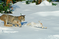 Canadian Lynx (Lynx canadensis) hunting snowshoe hare.