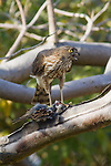 IMMATURE RED-SHOULDERED HAWK, BUTEO LINEATUS, AND SPARROW PREY