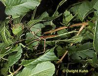 OR07-515z  Walking Stick Insect female, camouflaged on tree,  Acrophylla wuelfingi