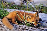 Young Red Fox (Vulpes vulpes) resting on coastal beach (drift logs), Katmai Coast, Alaska.