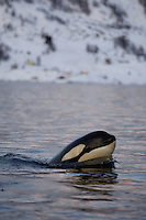 Killer whale calf, less than one year old, Orcinus orca, Tysfjord, Arctic Norway, North Atlantic