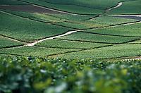 Europe/France/Champagne-Ardenne/51/Marne/Mutigny: Détail vignoble de la vallée de la Marne