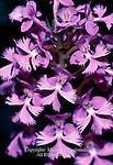 greater purple fringed orchid, Platanthera grandifolia