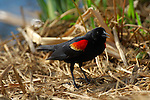 Red-winged Blackbird, Male Foraging, Sepulveda Wildlife Refuge, Southern California