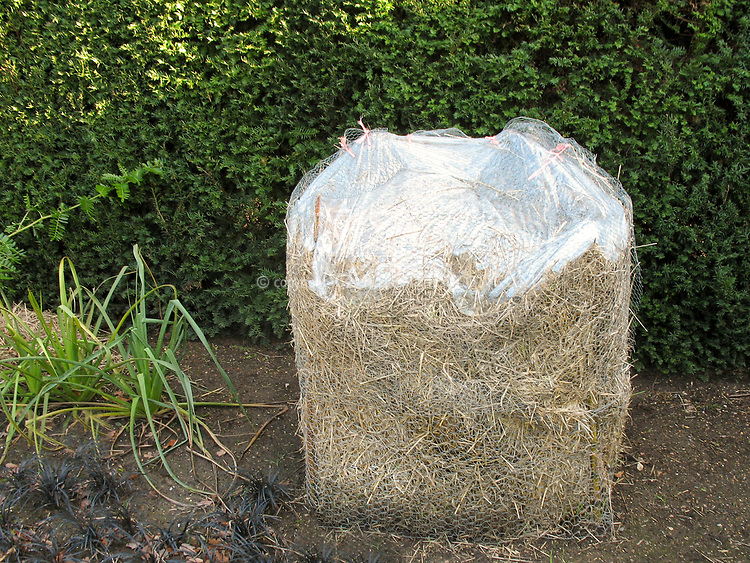 Musa basjoo AGM (winter protection) wrapped banana plant in straw and wire mesh to guard against cold temperatures, next to Eryngium and Ophiopogon planiscapus Nigrescens