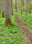 Great Smoky Mountains National Park, Tennessee: A trail leading through spring florest with mayapples (Podophyllum peltatum), wild blue phlox (Phlox divaricata) and yellow trillium (Trillium luteum) blooming in White Oak Sink
