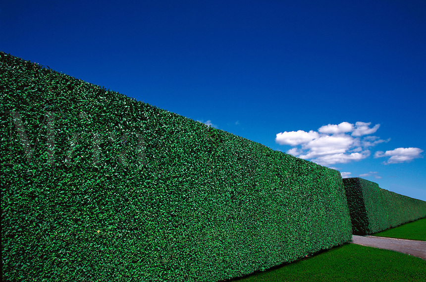 Tall, perfectly trimmed hedge.