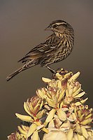Red-winged Blackbird, Agelaius phoeniceus, female singing on blooming Trecul Yucca (Yucca treculeana), Lake Corpus Christi, Texas, USA