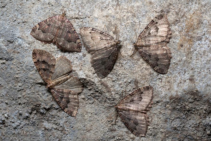 Tissue Moths {Triphosa dubitata} hibernating in a limestone cave. Peak District National Park, Derbyshire, UK. November.