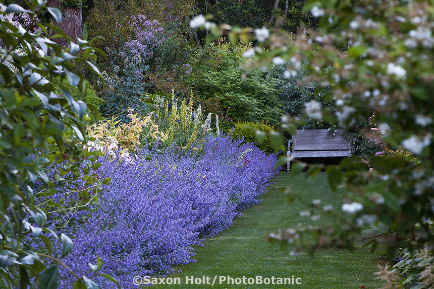 Catmint, Nepeta 'Walker's Low' flowering along perennial border with lawn path in garden room with bench, Gary Ratway garden