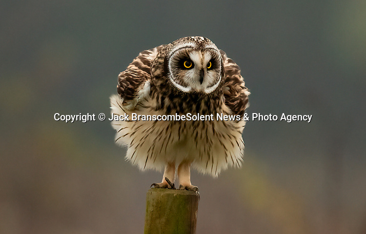 """Pictured:  MAIN SHOT:  The owl looking like it's wearing a dress.<br /> <br /> An owl seems to channel the spirit of Marilyn Monroe as it fluffs up its feathers and looks like its wearing a dress.  The short-eared owl was snapped by a keen amateur photographer as it ruffled its feathers.<br /> <br /> Jack Branscombe, 27, said he had been 'desperate' to photograph this species of owl for months and finally got his wish on a gloomy day at an unnamed spot in Essex.  He said: """"I was over the moon to see my first short-eared owl and to get to photograph such a relaxed one was amazing.  SEE OUR COPY FOR DETAILS.<br /> <br /> Please byline: Jack Branscombe/Solent News<br /> <br /> © Jack Branscombe/Solent News & Photo Agency<br /> UK +44 (0) 2380 458800"""