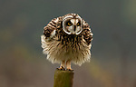 Owl looks like it has a dress on as it fluffs itself up by Jack Branscombe
