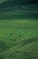 Europe/France/Auvergne/63/Puy-de-Dôme/Parc Régional des Volcans/Puy du Sancy (1885mètres): Les pâturages et cheptel de chevaux
