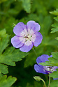 Geranium 'Rozanne' (syn. Geranium 'Jolly Bee'), late June. 'Jolly Bee' is no longer available: the two cultivars have been determined to be identical.