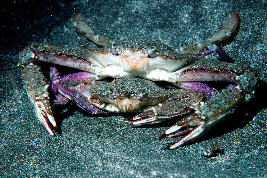 Xantus' swimming crab, Portunus xantusii, A mating pair is shown here, California, Pacific Ocean
