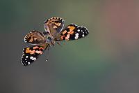 Distelfalter, Flug, fliegend, Distel-Falter, Vanessa cardui, Pyrameis cardui, Cynthia cardui, painted lady, Cosmopolitan, flight, flying, La Belle Dame, Wanderfalter