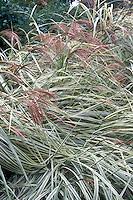 Miscanthus sinensis 'Variegatus' in flower, ornamental grass