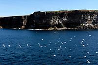 North coast, Stroma Isle cliffs and seagulls<br /> Scotland May 8th - 19th. Trip across Scotland<br /> Foto Samantha Zucchi Insidefoto