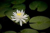 Water Lily - (Caroliniana Nivera). Hughes Water Gardens. Oregon