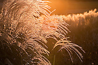 Backlit flower head of Miscanthus sinensis 'Malepartus' in Chicago Botanic Garden, evening sun