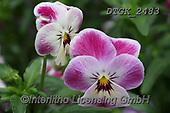 Gisela, FLOWERS, BLUMEN, FLORES, photos+++++,DTGK2483,#f#, EVERYDAY