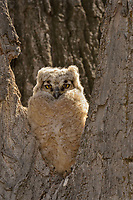 Great Horned Owlet (Bubo virginianus) watches from the crotch of a tree.  Oregon, spring.
