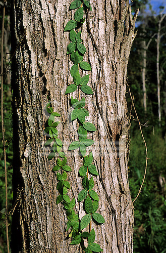 Amazon, Brazil. Grey tree trunk with green climbers growing up it. Living forest.