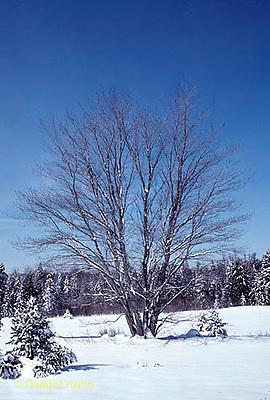 TT12-049z  Red Maple - winter - Acer rubrum