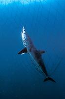 Shortfin mako shark, Isurus oxyrinchus, killed in offshore gill net, Sea of Cortez, Mexico, Pacific Ocean