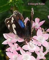 LE45-556z  Blue Pansy Butterfly/Blougesiggie, Junonia oenone oenone, Africa