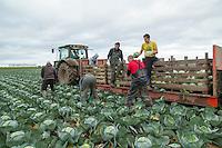 Harvesting dutch white cabbage - Lincolnshire, November