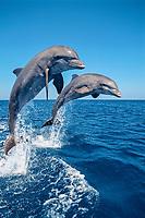 common bottlenose dolphin, Tursiops truncatus, leaping, Roatan, Honduras, Caribbean Sea, Atlantic Ocean (cr)
