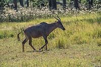 Africa, Botswana, Okavango Delta, Khwai Private Reserve. Tsessebe.