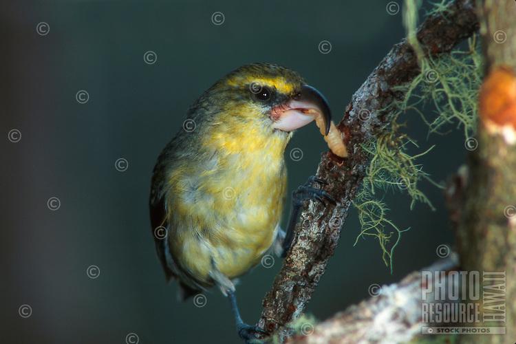 An endemic Hawaiian honeycreeper (or kawikiu, Maui Parrotbill, Pseudonestor xanthophrys)<br /> has a meal in a Maui forest.