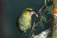 An endemic Hawaiian honeycreeper (or kawikiu, Maui Parrotbill, Pseudonestor xanthophrys)<br />
