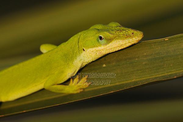 Green Anole (Anolis carolinensis), adult on palm frond, Fennessey Ranch, Refugio, Coastal Bend, Texas Coast, USA