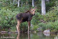 0622-1004  Eastern Moose Calf, Alces alces americana  © David Kuhn/Dwight Kuhn Photography