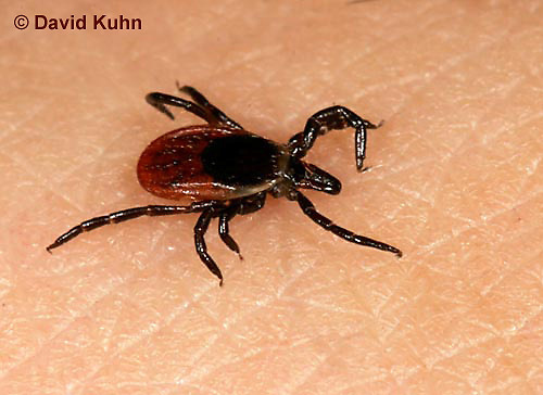 """1022-07ww  Deer Tick - Ixodes scapularis """"on human skin looking for a blood meal"""" © David Kuhn/Dwight Kuhn Photography"""
