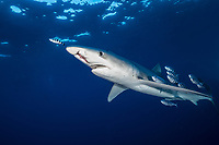 blue shark (Prionace glauca), with damaged snout, possibly due to entanglement with net or plastic, Pico Island, Azores, Portugal, Atlantic Ocean