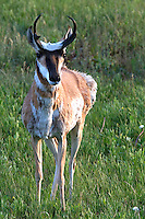 The pronghorn (Antilocapra americana) is a mammal unique to interior western and central North America. Though not an antelope, it is often called a pronghorn antelope, or simply antelope, as it closely resembles the true antelopes of the Old World and fills a similar ecological niche due. It is the only surviving member of the family Antilocapridae. During the Pleistocene period, 12 antilocaprid species existed in North America. About five existed when humans entered North America 13,000 years ago; all but pronghorn are now extinct. Lamar Valley, Yellowstone.