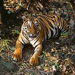Tiger, Bandhavgarh National Park, India