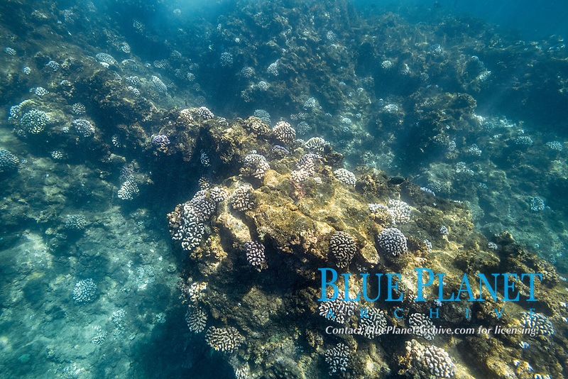 bleached colonies of cauliflower coral, Pocillopora meandrina, during a marine heat wave in 2019, Black Rock, West Maui, Hawaii, USA (Central Pacific Ocean)