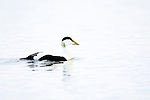 Male Common Eider (Somateria mollissima) Off the coast on northern Spitsbergen, Svalbard, Arctic Norway.