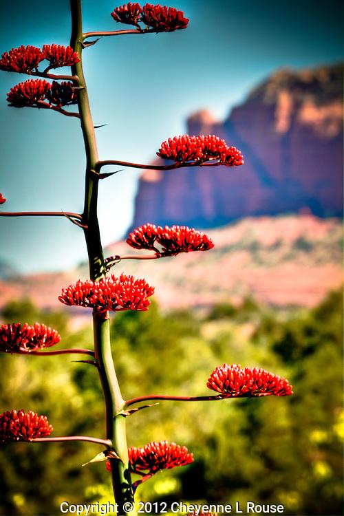 Blooming Century Plant - Sedona, Arizona