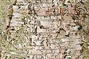 Trunk and bark of paper or canoe birch (Betula papyrifera).
