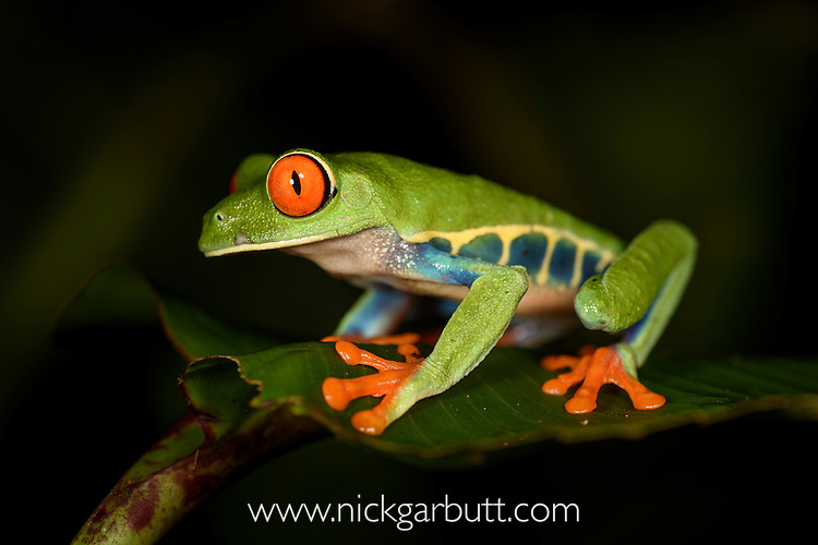 Male Red-eyed Tree Frog or Red-eyed Leaf Frog (Agalychnis callidryas) - Caribbean slope race (blue flanks). Mid-altitude rainforest near Aranal, central Costa Rica.