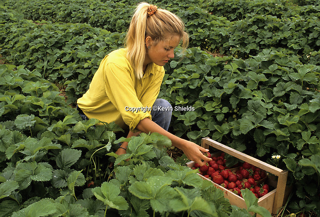 Young woman picking strawberries in a field in Warren, Maine, USA
