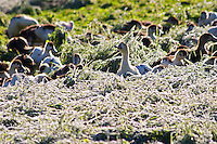 White and black ducks at a duck farm, kept outdoors for grazing before the final force feeding stage to make foie gras duck's liver. In frosty grass. Ferme de Biorne duck and fowl farm Dordogne France