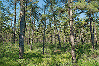 White cedar trees, Pine Barrens, New Jersey, USA