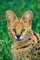SERVAL. Huge ears act as dish antennae to locate prey. Africa. (Felis serval).